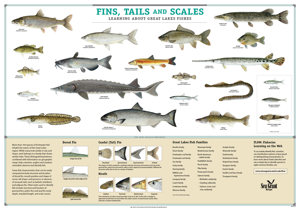 fins tails scales fish id poster todd marsee ForList Of Fish With Fins And Scales